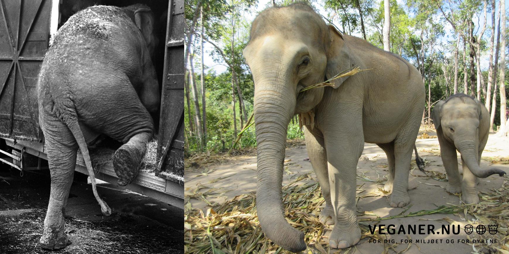 Elefant-Mima-og-hendes-mørke-vogn