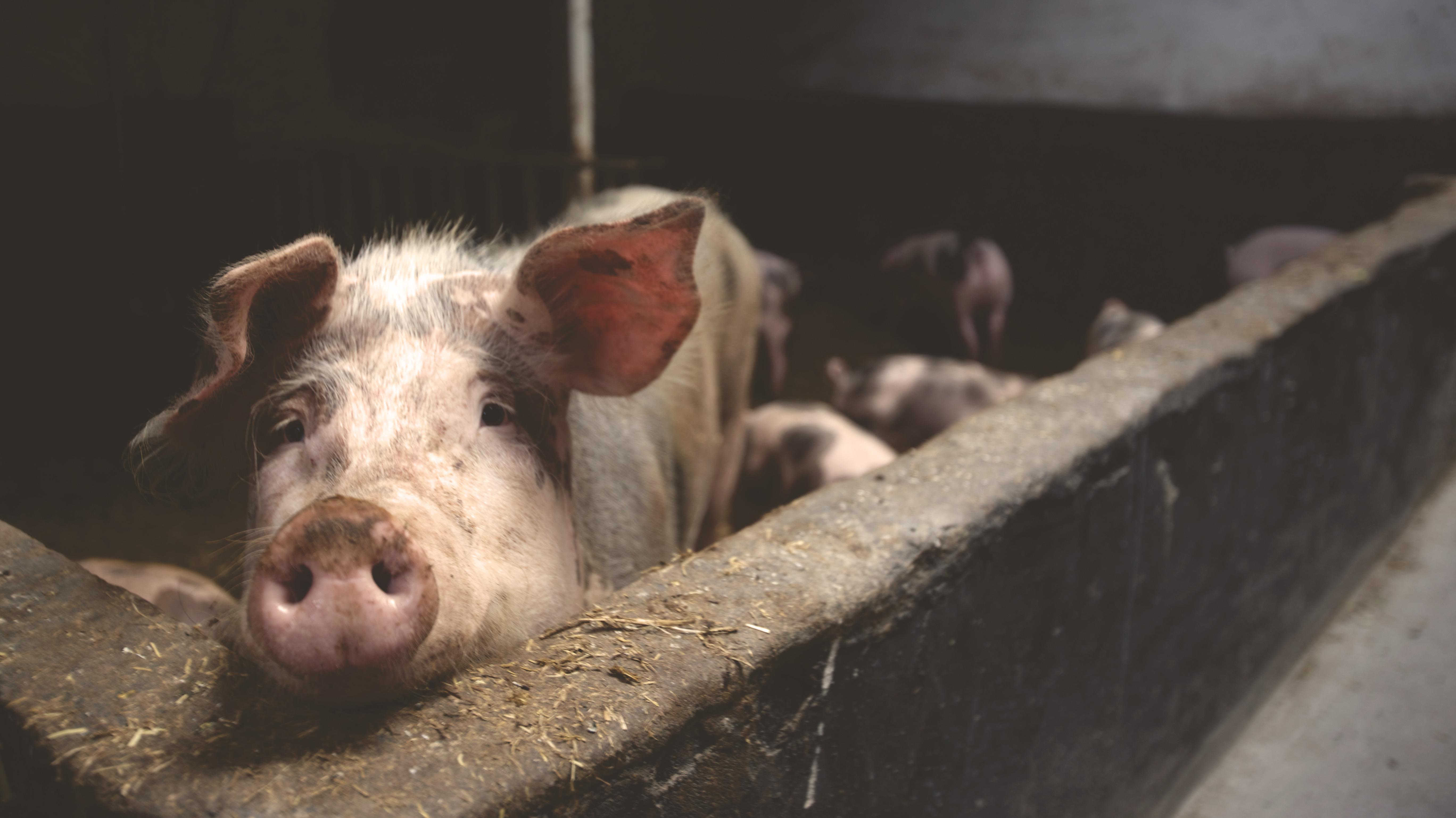 Veganer.nu-Vi-bør-ikke-behandle-grise-og-andre-dyr-som-var-de-blot-resurser
