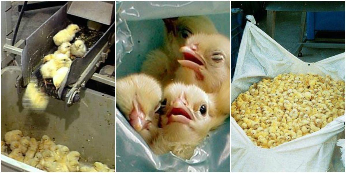 Kyllingerne kønssorteres